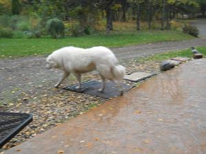 SASA - Leah Seabrook's beautiful dog!